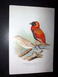Frohawk & Butler 1899 Antique Bird Print. Grenadier Weaver
